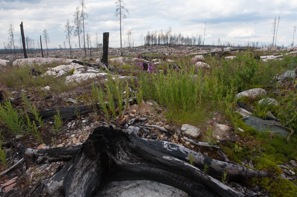 Hälleskogsbrännan. Foto: Henrik Aadrén